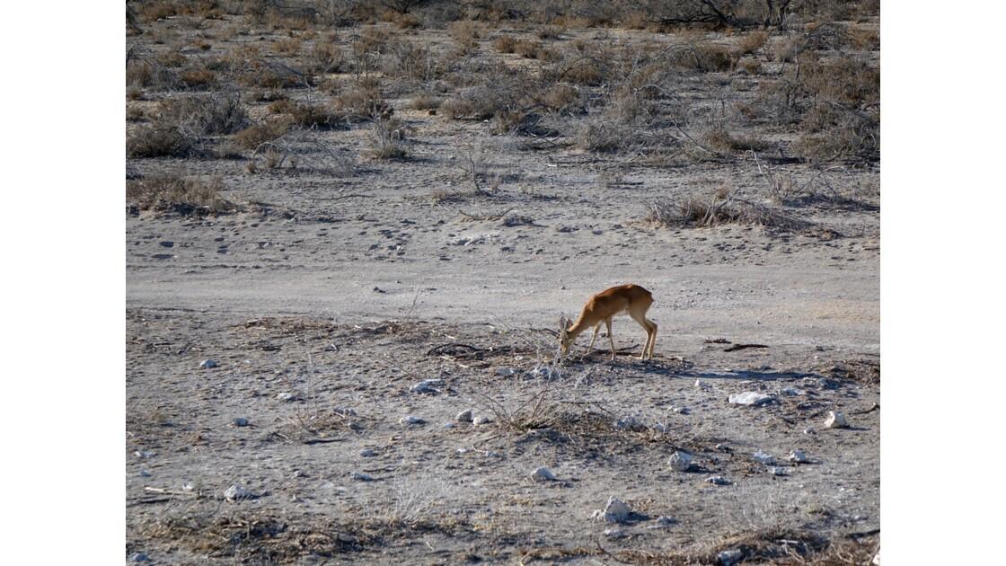 Namibie Etosha entre Namutoni et Okaukuejo Dik-Dik 1