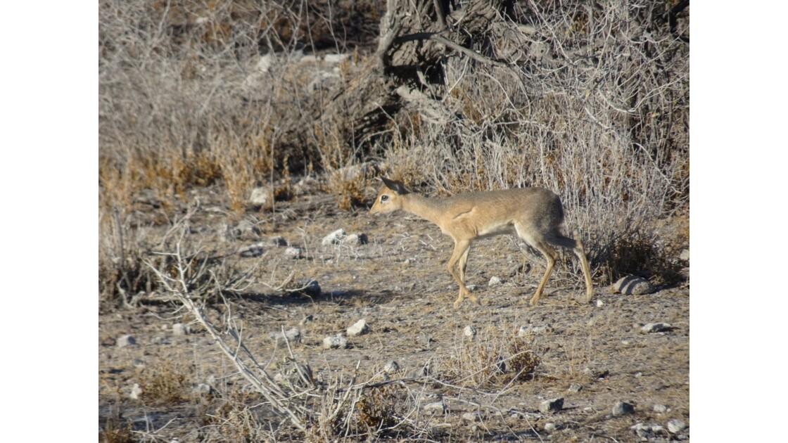 Namibie Etosha entre Namutoni et Okaukuejo Dik-Dik 2