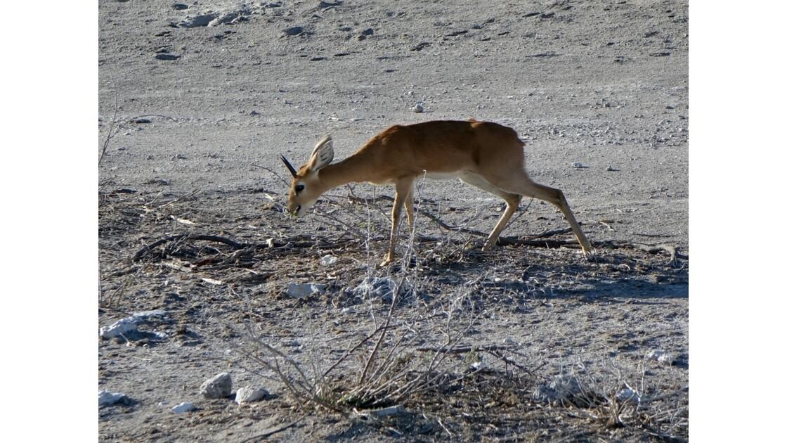 Namibie Etosha entre Namutoni et Okaukuejo Dik-Dik 3