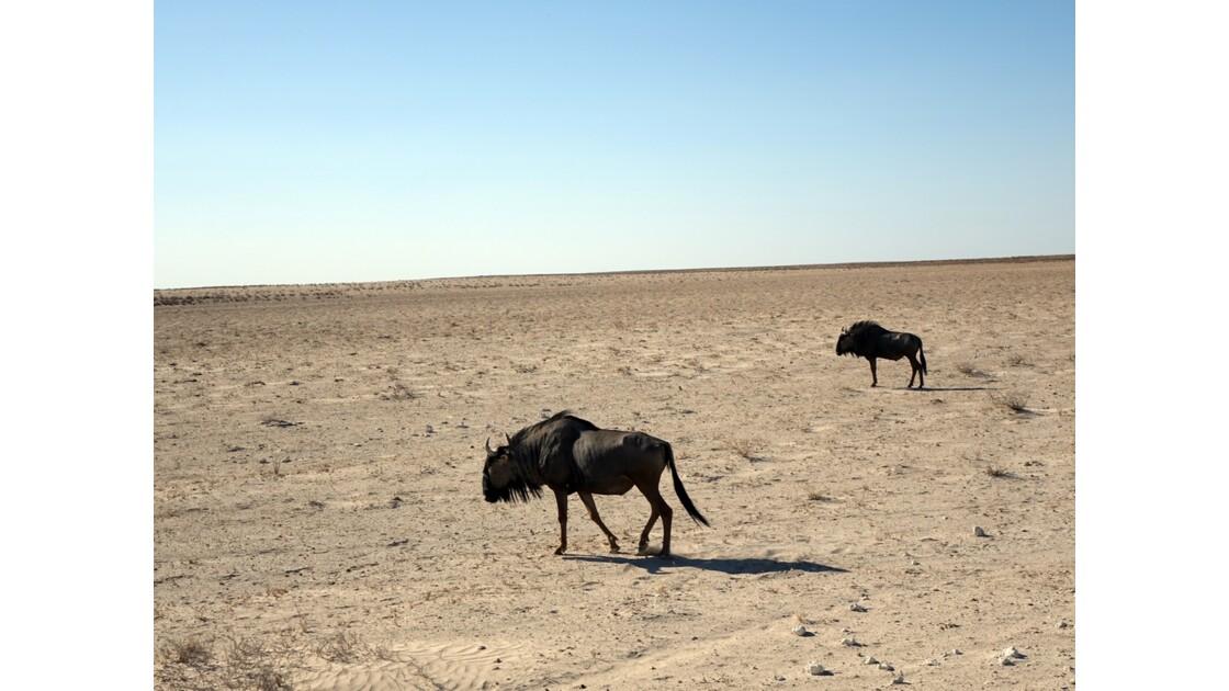 Namibie Etosha entre Namutoni et Okaukuejo Gnous 1