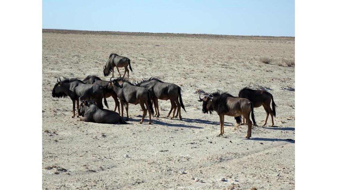 Namibie Etosha entre Namutoni et Okaukuejo Gnous 3