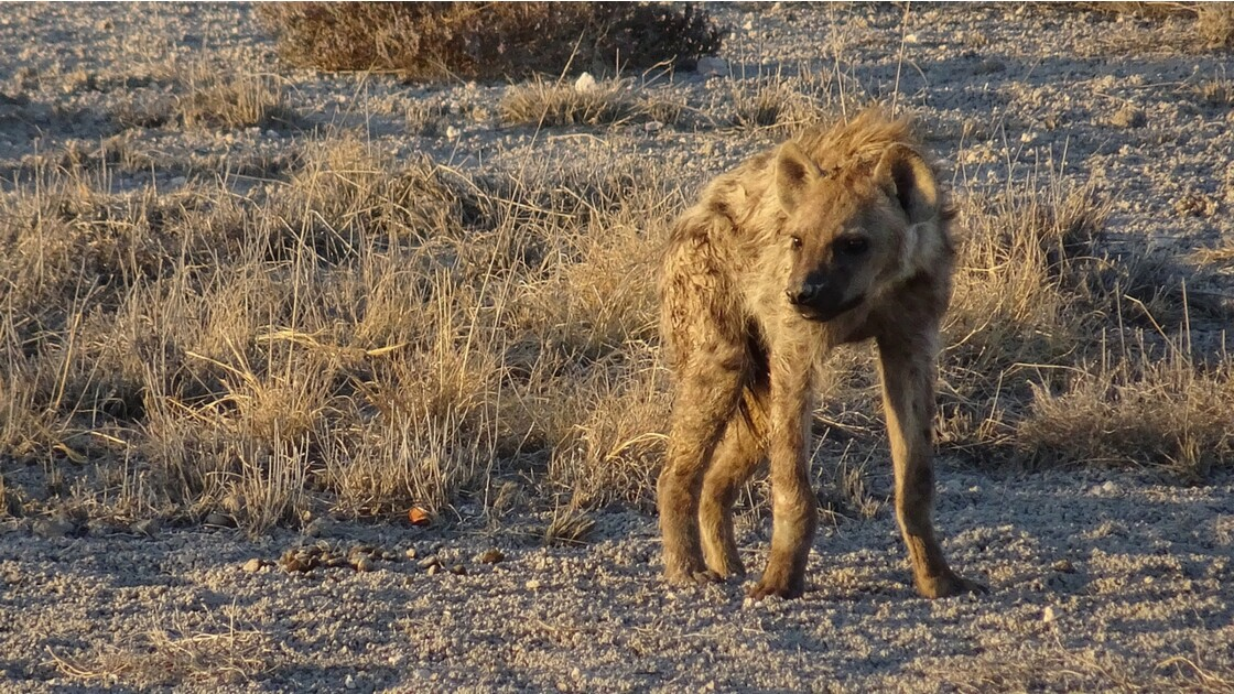 Namibie Etosha entre Namutoni et Okaukuejo hyéne 3