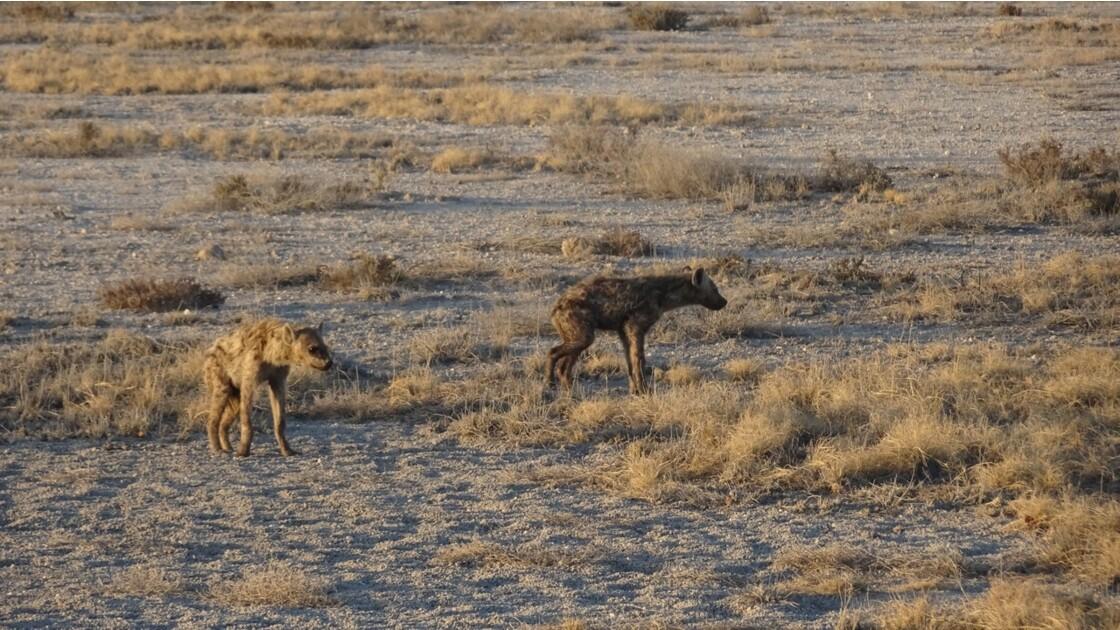 Namibie Etosha entre Namutoni et Okaukuejo hyéne 1