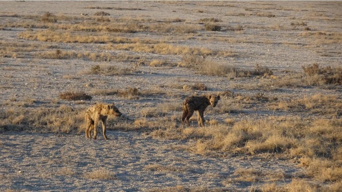 Namibie Etosha entre Namutoni et Okaukuejo hyéne 2