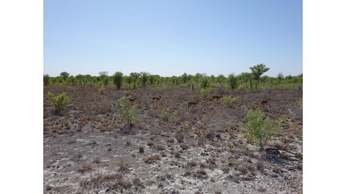 Namibie Etosha entre Namutoni et Okaukuejo Impalas