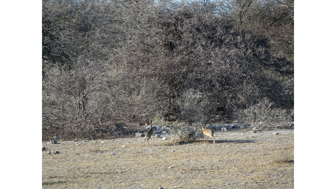Namibie Etosha entre Namutoni et Okaukuejo Le guérénouk ou gazelle girafe 2