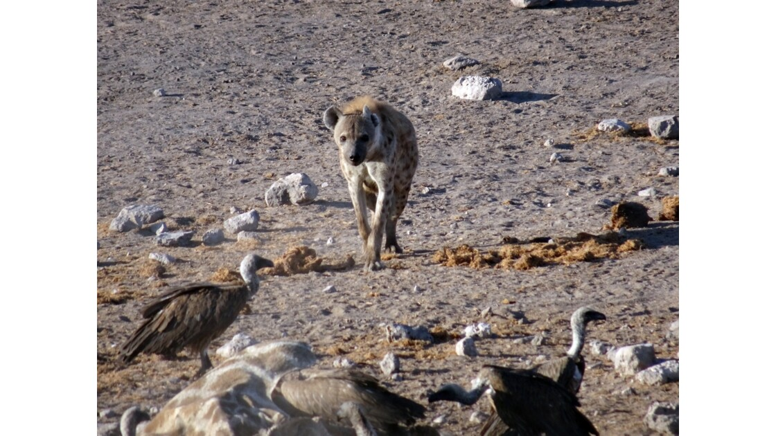 Namibie Etosha entre Namutoni et Okaukuejo le repas 1