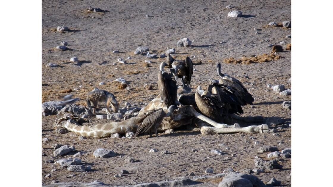 Namibie Etosha entre Namutoni et Okaukuejo le repas 3