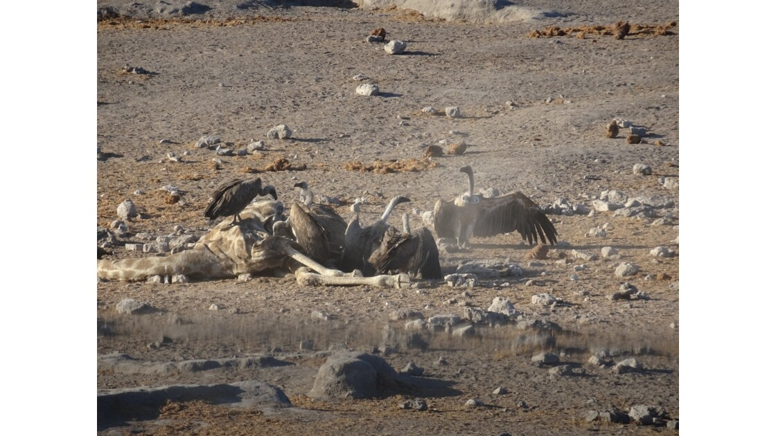 Namibie Etosha entre Namutoni et Okaukuejo le repas 4