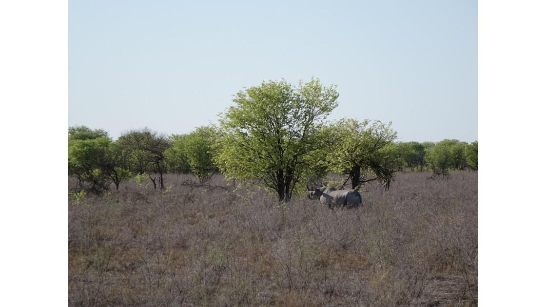 Namibie Etosha entre Namutoni et Okaukuejo Rhinocéros noir 1