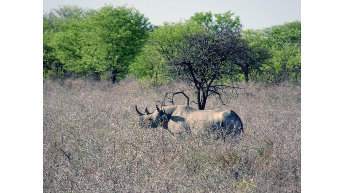 Namibie Etosha entre Namutoni et Okaukuejo Rhinocéros noir 2