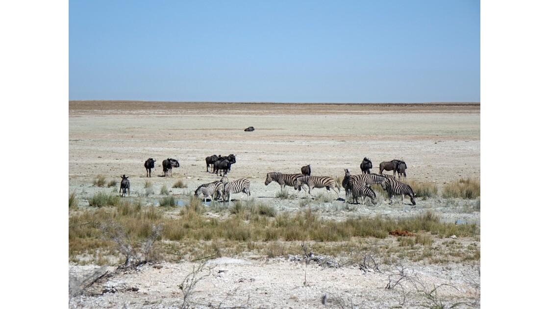 Namibie Etosha entre Namutoni et Okaukuejo Zèbre et Gnous