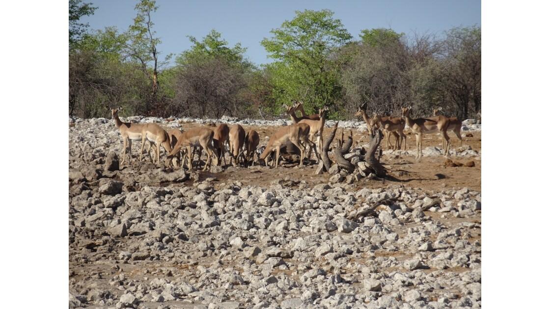 Namibie Etosha entre Namutoni et Okaukuejo autour du point d'eau 1