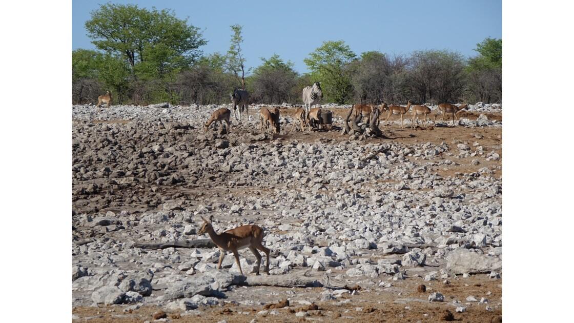 Namibie Etosha entre Namutoni et Okaukuejo autour du point d'eau 3
