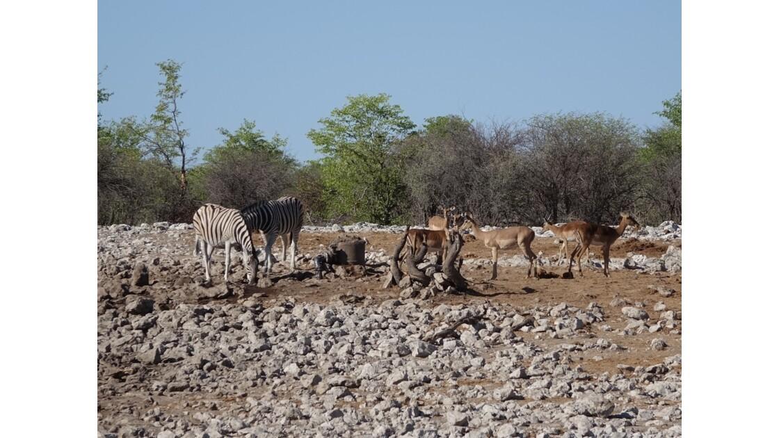 Namibie Etosha entre Namutoni et Okaukuejo autour du point d'eau 4