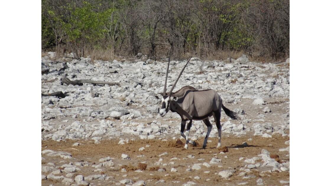 Namibie Etosha Ils vont tous au point d'eau Oryx 2