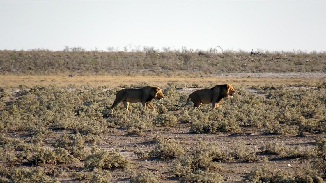 Namibie Etosha Ils vont tous au point d'eau 4
