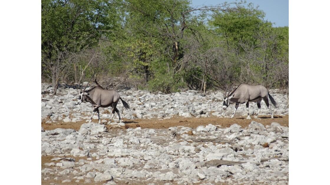 Namibie Etosha Ils vont tous au point d'eau Oryx 1