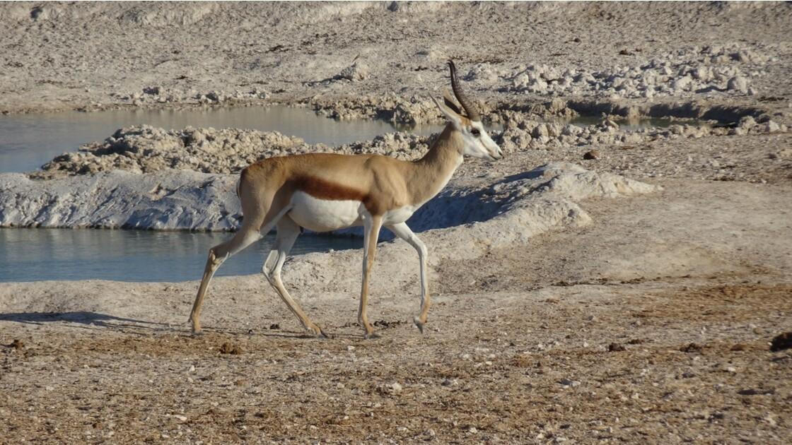 Namibie Etosha Les lions arrivent