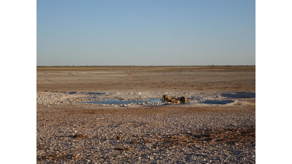 Namibie Etosha Les lions sont arrivés 2