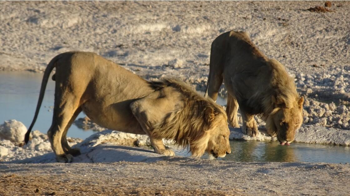 Namibie Etosha Les lions sont arrivés 3