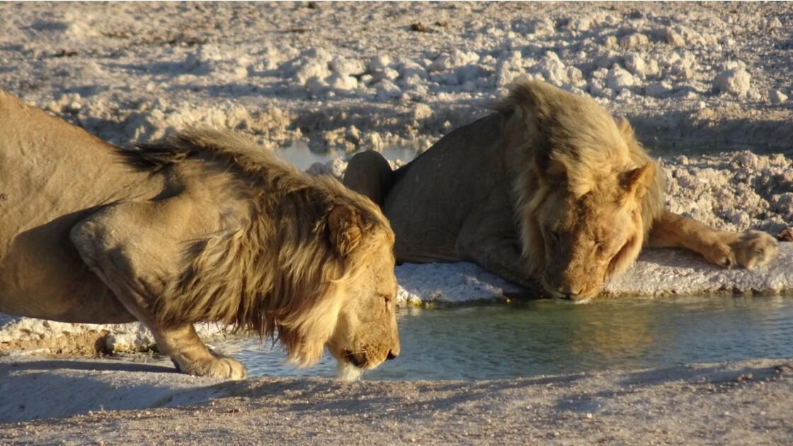 Namibie Etosha Les lions sont arrivés 4