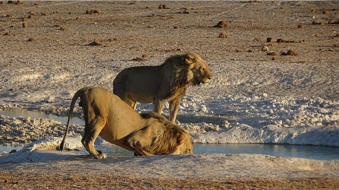 Namibie Etosha Les lions sont arrivés 6