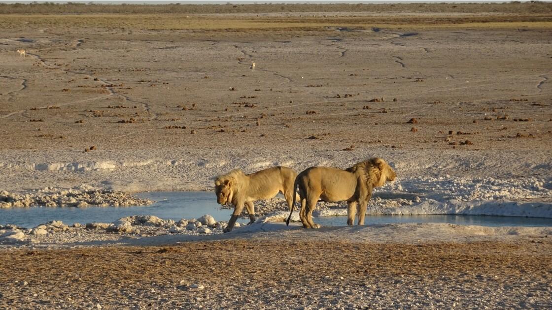 Namibie Etosha Les lions sont arrivés 7