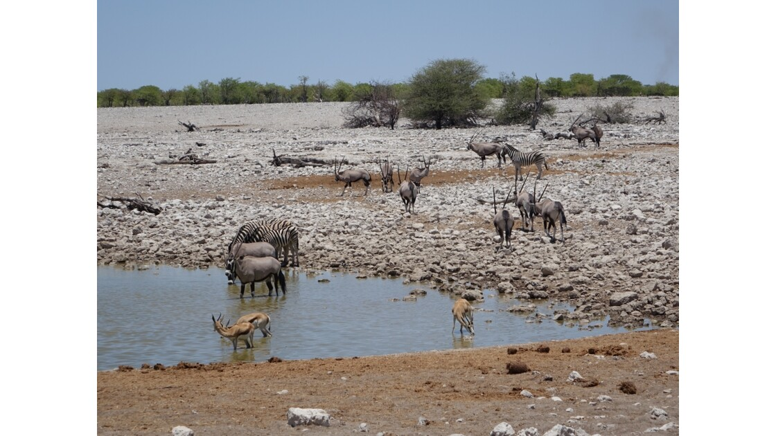 Namibie Etosha Point d'eau d'Okaukuejo 4