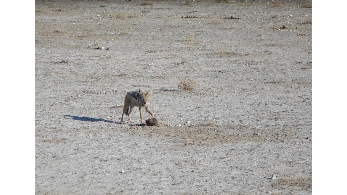Namibie Etosha Point d'eau d'Okaukuejo Chacal