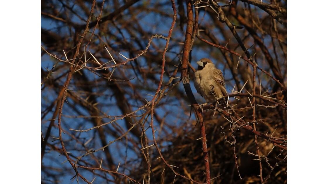 Namibie Etosha  Okaukuejo oiseau Républicain