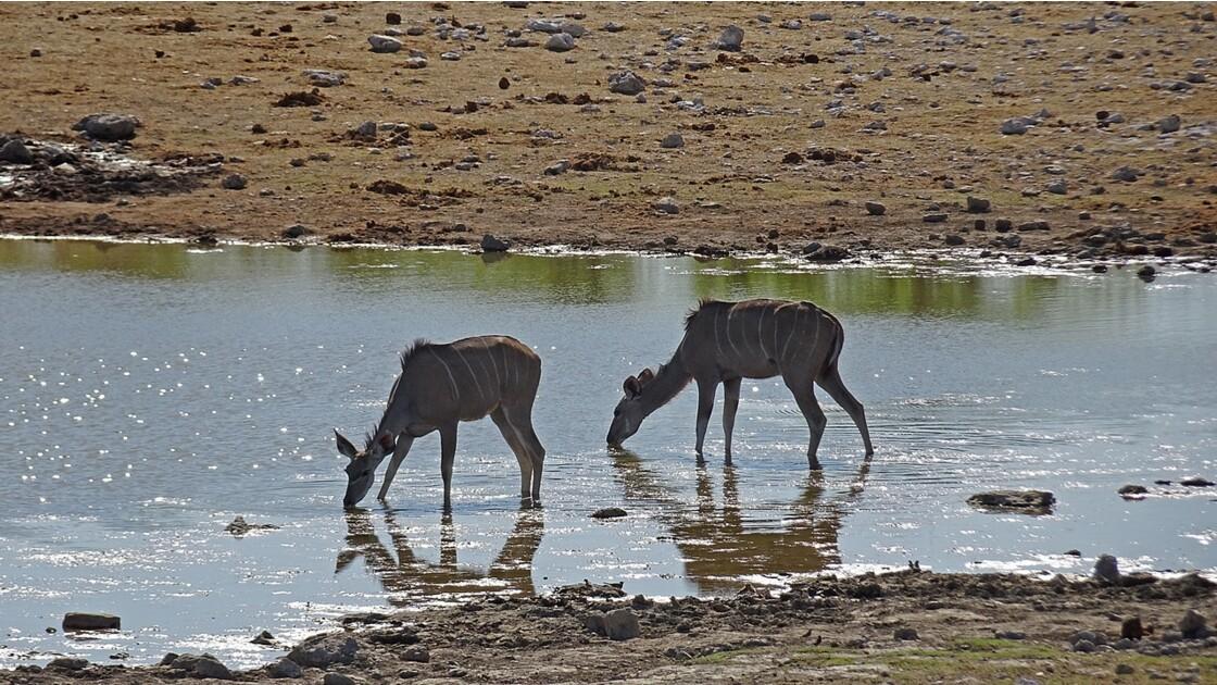 Namibie Etosha Près d'Okaukuejo Grand Koudou 1