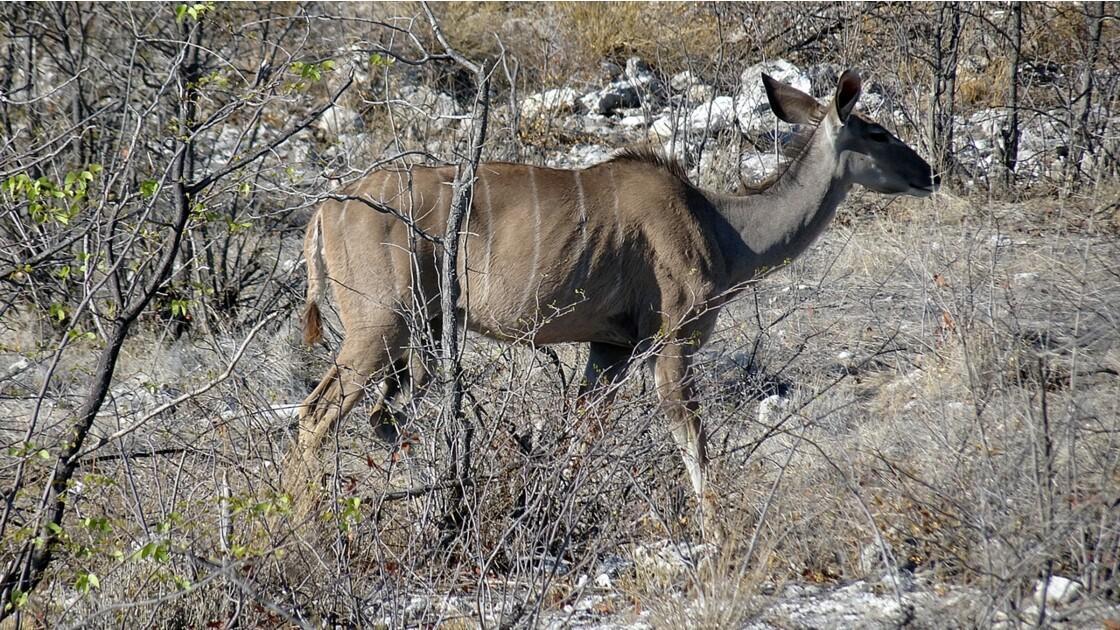 Namibie Etosha Près d'Okaukuejo Grand Koudou 7