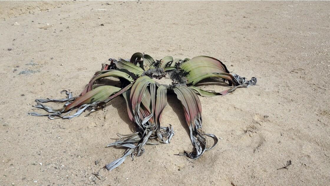 Désert de Namibie Welwitschia mirabilis 7