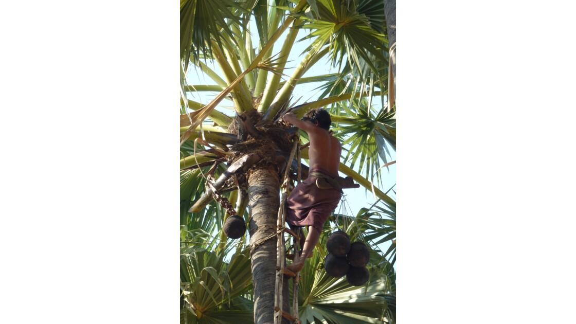 récolte du jus de palme