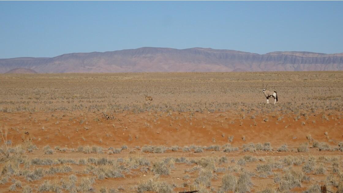 Namibie Sossusvlei Oryx et son petit au pied de la Dune Elim 2