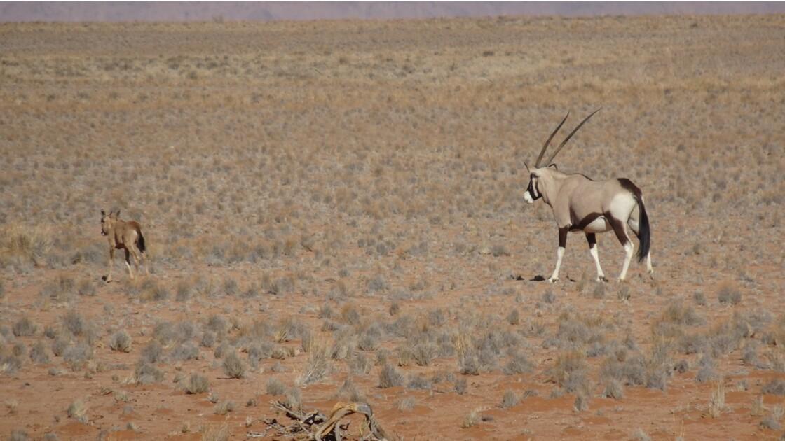 Namibie Sossusvlei Oryx et son petit au pied de la Dune Elim 1