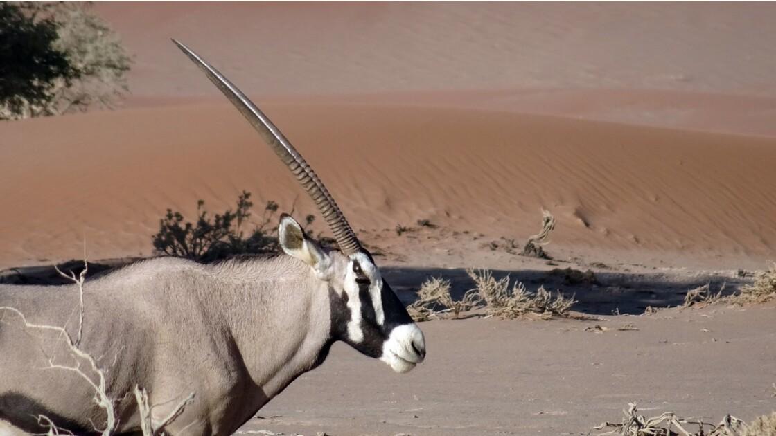 Namibie  Sossusvlei oryx 1