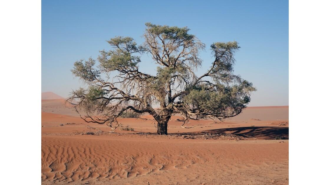 Namibie  Sossusvlei Acacia erioloba 4