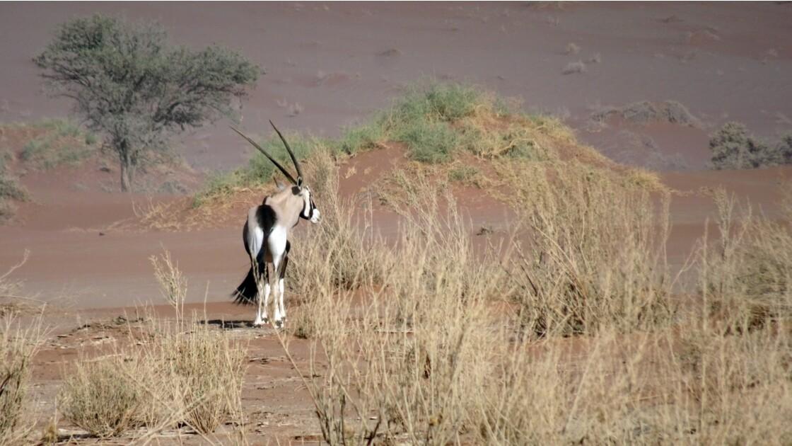 Namibie  Sossusvlei oryx 3