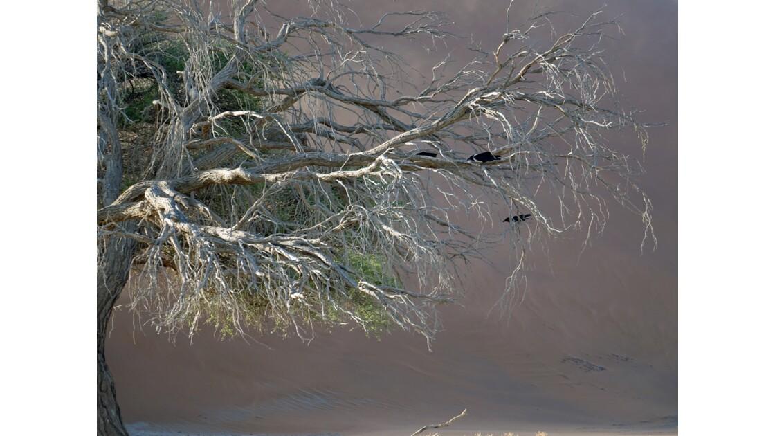 Namibie  Sossusvlei Acacia erioloba 2