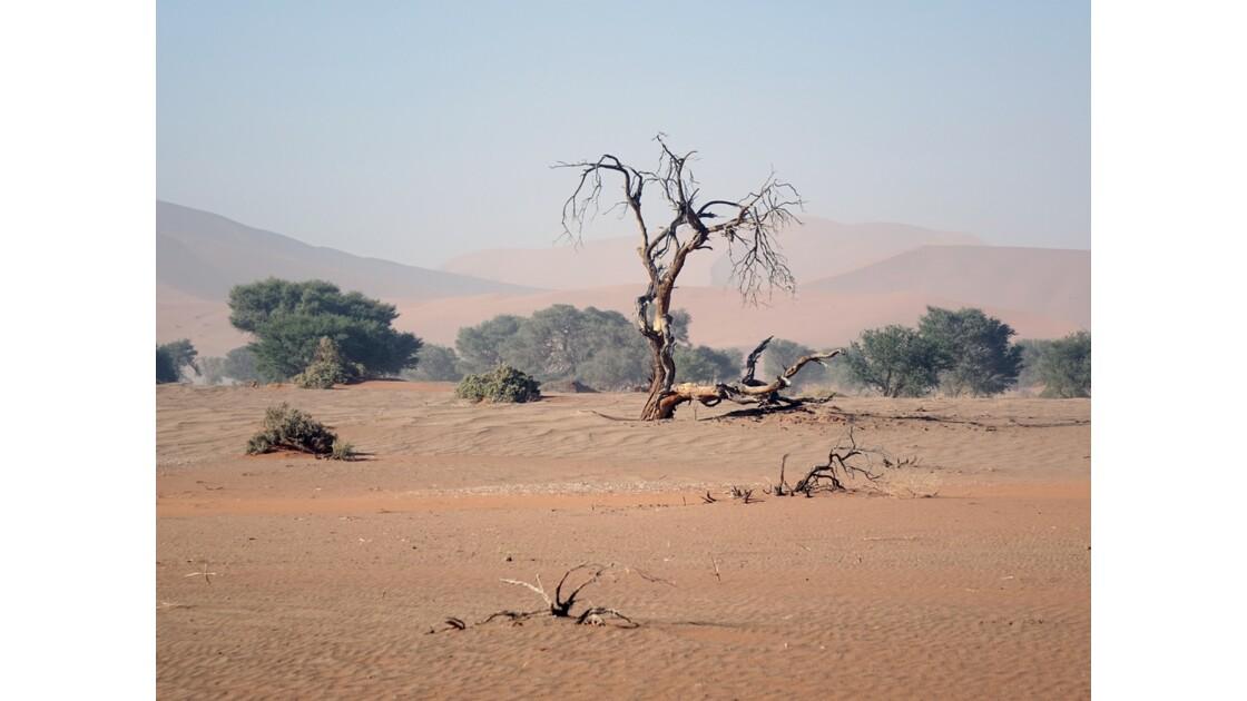 Namibie  Sossusvlei Acacia erioloba 1
