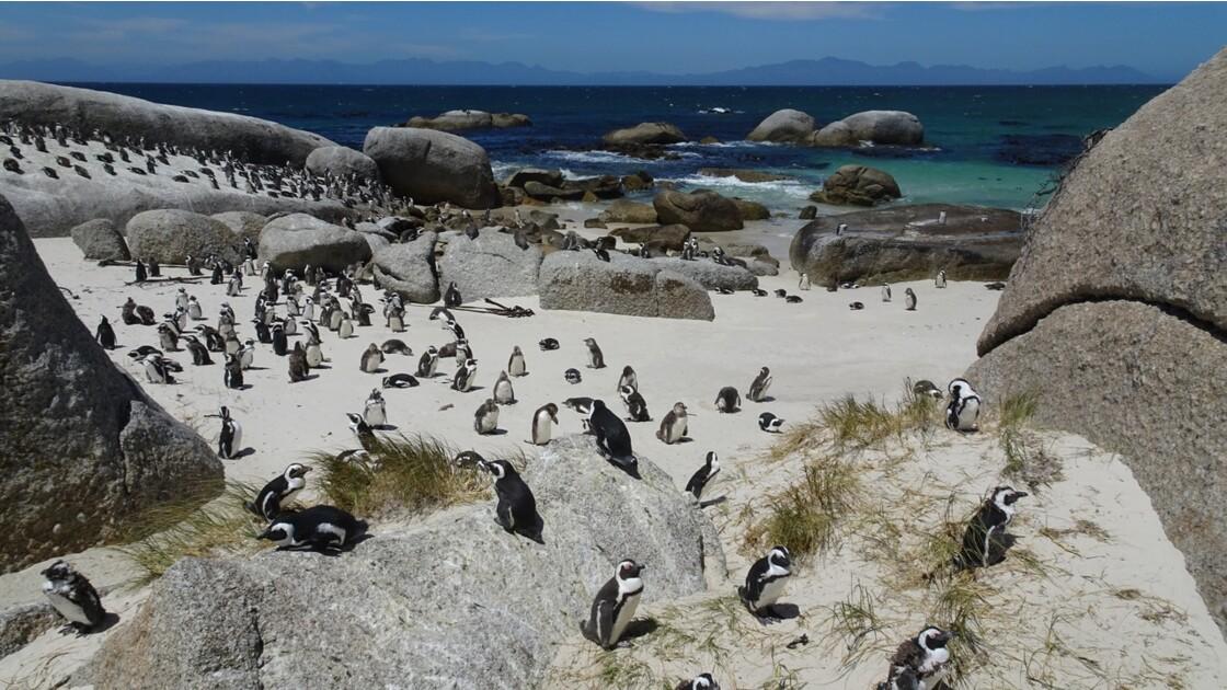 Afrique du Sud les pingouins Jackass de Boulders Beach 2