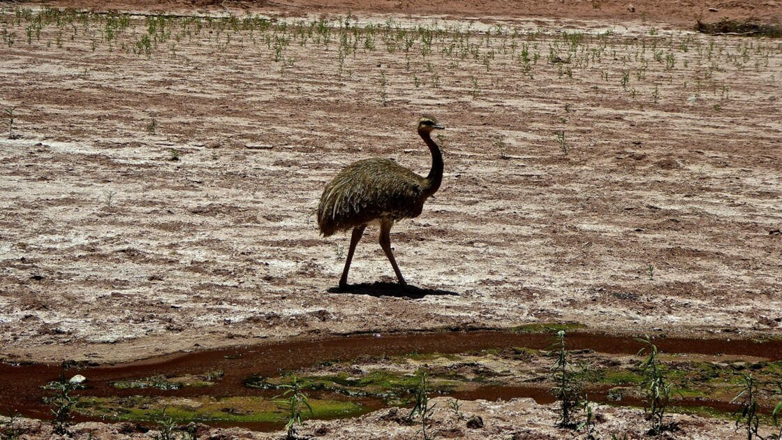 Nandou dans le parc de Talampaya