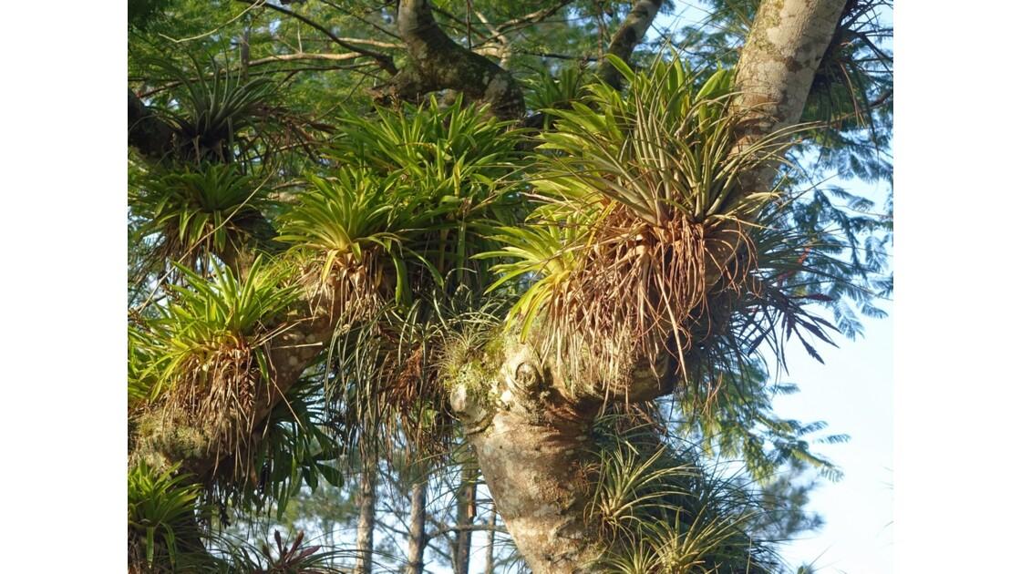 Cuba Parc de La Mensura Epiphytes 3