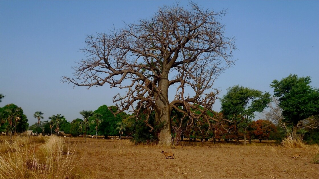 Baobab du pays Senoufo