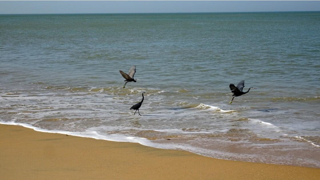 Sénégal entre Saly et Mbour Hérons cendrés 5