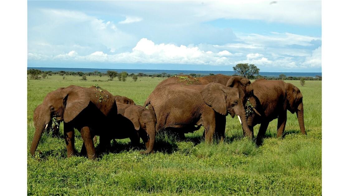 Eléphants de Tanzanie