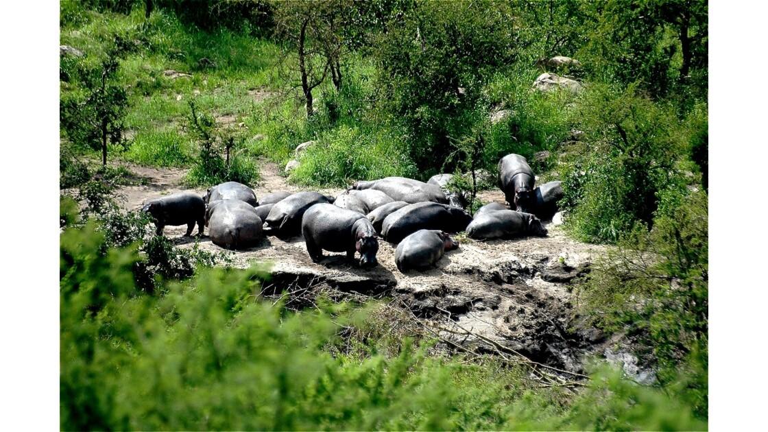 La vie paisible de l'hippopotame