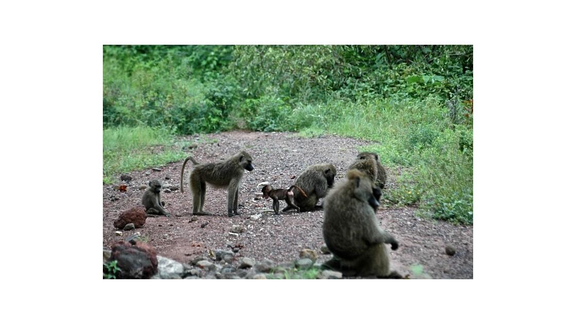 Histoire de babouins